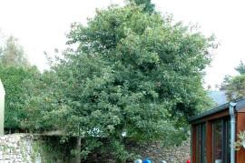 Pommes-Baum, hi,hi!