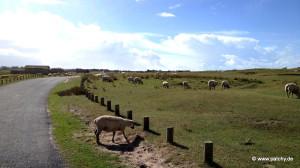 Schafe bei Bricqueville-sur-Mer