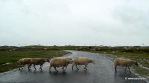Schafe in Les Salines bei Bricqueville-sur-Mer